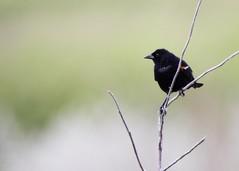 Fledgling red-wing blackbird (mtmelody14) Tags: fledgling redwingblackbird