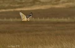 Asio flammeus SEO ( Explored ) (nondesigner59) Tags: shortearedowl asioflammeus hunting predator owl wildlife nature flight copyrightmmee eos7dmkii nondesigner nd59