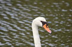Mute Swan (Neal D) Tags: bc westvancouver amblesidepark bird swan muteswan