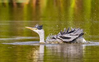 Heron having a wash