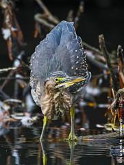 green heron (butorides virescens) (punkbirdr) Tags: kusmin nikon d500 500mmedafsif4 tc14eii14x punkbirdrphoto greenheron butoridesvirescens