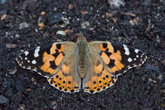 Painted Lady (Tim Melling) Tags: cynthia cardui painted lady west yorkshire timmelling