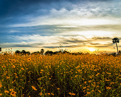 Sunflower Sunset (Ed Rosack) Tags: swampsunflower landscape ©edrosack cloud flower lakejesup sky centralflorida panorama fall usa florida autumn cloudy helianthusangustifolius narrowleafsunflowers sandford us explore