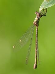 agrion (pierre.pruvot2) Tags: france insectes oyeplage pasdecalais platierdoye