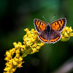 On Yellow (Portraying Life, LLC) Tags: dbg6 da3004 hd14tc k1mkii michigan pentax ricoh unitedstates butterfly closecrop handheld nativelighting leonardspreserve meadow nectar dryprairie