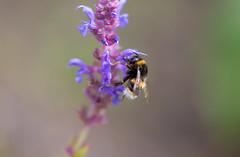 IMG_0215 (G_HOWDEN) Tags: purple flower bee macro
