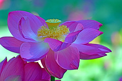 Lotus Flower (misi212) Tags: lotus botanical