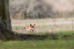 R18_2179 (ronald groenendijk) Tags: cronaldgroenendijk 2018 diereninhetwild rgflickrrg animal copyrightronaldgroenendijk fox nature natuur natuurfotografie netherlands outdoor ronaldgroenendijk vos vulpis wildlife
