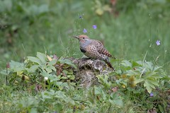 Stone Throne (gseloff) Tags: redshaftednorthernflicker bird female nature wildlife animal limestone bluffsprings newmexico gseloff