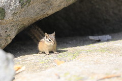 Chipmunk (Zach Hawn) Tags: wildlife mountrainier mtrainier nationalpark nps nationalparkservice wilderness outdoors animals hiking pacificnorthwest pnw wander nature naturalist citizenscience research communityscience peakingforpikas trail westernwashington washington wa piercecounty wildlifephotography flora fauna washingtonwildlife westernus