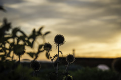 SunSets on the life of the plant (The Wandering Cameraman) Tags: nikon nikkor vermont addisoncounty sky sunset plants flowers structure bokeh clouds landscape landscapephotography sun sunlight d750
