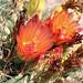 Compass cactus flowers