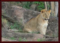 YOUNG SUB-ADULT MALE LION CUB  (Panthera leo)  ......MASAI MARA......SEPT 2017. (M Z Malik) Tags: nikon d3x 200400mm14afs kenya africa safari wildlife masaimara keekoroklodge exoticafricanwildlife exoticafricancats flickrbigcats leo lioncubs lions ngc npc