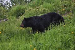 Black Bear (crafty1tutu (Ann)) Tags: travel holiday canadaandalaska alaska animal bear blackbear grass flower dandelion wild inthewild roamingfree crafty1tutu canon5dmkiii canon24105lserieslens anncameron naturethroughthelens