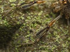 dicranopalpus_ramosus_harvestman_1210190 (jswildlife) Tags: jswildlife macro olympusmacrolens60mmf28 lumixgx8 m43 oxfordshire abingdon opilliones harvestman dicranopalpusramosus invertebrates arachnidaea arachnid raynox250
