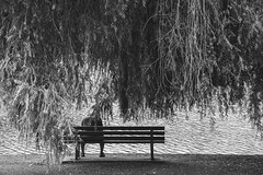 everybody's gotta love sometime (bluechameleon) Tags: sharonwish westend alone blackandwhite bluechameleonphotography branches loneliness lostlagoon melancholic melancholy nature parkbench person ripples summer textures vancouver water weepingwillowtree
