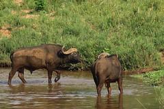 Syncerus caffer (Dindingwe) Tags: synceruscaffer buffle buffledafrique buffalo africanbuffalo capebuffalo bovidae kruger