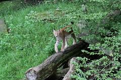 Lynx (Passion Animaux & Photos) Tags: lynx boreal eurasianlynx lynxlynx parc animalier saintecroix france