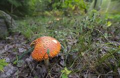 _MAL4584 (Markoliini) Tags: natur nature luonto sieni svamp nikon d800e tamron 1530 skog metsä