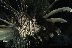 Lionfish (Pterois) (Juanjo Gomez) Tags: red redsea lionfish underwater undersea