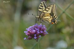 Machaon dans le jardin Rucker à Zweibrucken (BPBP42) Tags: papillon butterfly insecte fleur flower nature animal