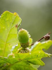 Acorn (Future-Echoes) Tags: 4star 2018 acorn bokeh depthoffield dof drops green leaves nature oak rain sparkeywood waterdrops wet wickhambishops