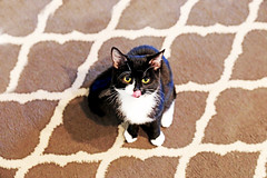 Wally from Ottawa (kirstiecat) Tags: cat chat gato gata feline meow purr catcafe canada ottawa caturday animal pet cattongue