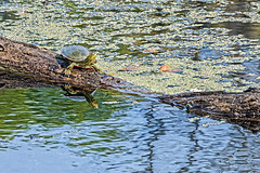 Turtle (Dad from Hell) Tags: garypaakkonen mn minnesota photography autumn critters fall lake nature swamp turtle water reflections colour color pond