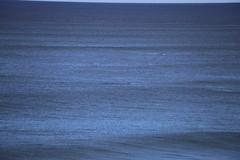 IMG_3550 (gervo1865_2 - LJ Gervasoni) Tags: surfing with whales lady bay warrnambool victoria 2017 ocean sea water waves coast coastal marine wildlife sealife blue photographerljgervasoni