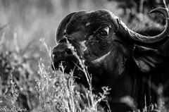 African Buffalo (nils.loland) Tags: africanbuffalo synceruscaffer capebuffalo afrikabøffel bøffel buffalo mammal wildlife safari nairobinationalpark gamedrive blackandwhite kenya nature sigma150500mm nikond7000
