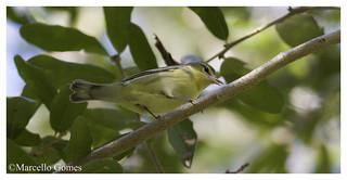 Cerulean Warbler (Setophaga cerulea) CEWA (female) - Lots of soft yellow wash
