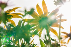 Playing with light (Mike Y. Gyver ( Back Home )) Tags: sky flower flare sigma105mmmacrof28exdgoshsm serenity silhouette green garden yellow d90 dof dephtoffield nikon mygphotographiewixsitecommyg2017 myg 2018 jardin belgium belgique brussels bruxelles meise jardinbotaniquedemeise
