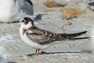 DSC0664  Black Tern..