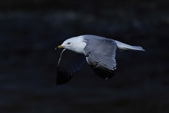 BAdam-2016-04-15-0197.jpg (Photos by Olar) Tags: bif riversidepark seagull
