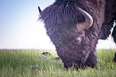 Heady (Notkalvin) Tags: southdakota pringle bison buffalo birds eating feeding nature animals wildanimals friends critters head beast hoof horns america outdoors nopeople
