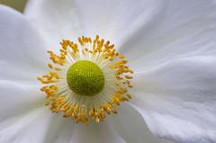 White Anemone (s.d.sea) Tags: anemone white flower flowers floral petals blossom bloom macro pentax k5iis pnw pacificnorthwest washingtonstate washington issaquah klahanie garden grow summer