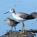 Pectoral Sandpipers and Greater Yellowlegs