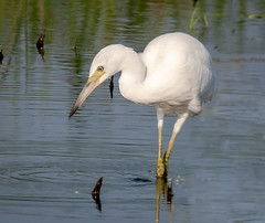 Juvenile Little Blue Heron (tresed47) Tags: 2018 201808aug 20180806bombayhookbirds august birds bombayhook canon7dmkii content delaware folder heron littleblueheron peterscamera petersphotos places season summer takenby us ngc