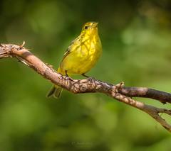 WESTERN TANAGER (FEMALE) (Sandy Hill :-)) Tags: birds yellowbirds westerntanagers femalewesterntanagers birdsofthepacificnorthwest birdsofbc birdsofnorthamerica sandyhillphotography