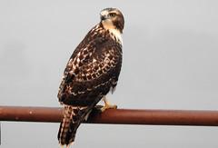 Swainsons Hawk (juv) (pamfromcalgary) Tags: bird birdofprey swainsonshawk southernalberta