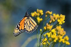 Danaus plexippus (Monarch) (birdgal5) Tags: california solanocounty lakesolanocountypark lakesolano picnicarea milkweedbutterfly insecta lepidoptera nymphalidae monarch danaus danausplexippus nikon d4 nikond4 80400mmf4556gafsedvr