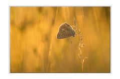 _IGP1669 copie (Francinen89) Tags: papillon butterfly coucherdesoleil sunset macro nature proxi insecte insect couleur colors jaune yellow azuré