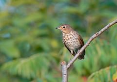 Swainson,s Thrush. (mandokid1) Tags: canon 1dx ef600mm11 birds