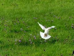 Weiße Taube Schnappschuss (BrigitteE1) Tags: weisetaube schnappschuss vogel bird wiese meadow blumen flowers white green lilac taube pigeon snapshot whitepigeon thüringerschildtaube