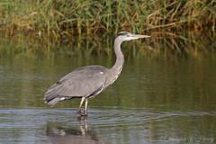 Grey heron (Ardea cinerea) (applemacman2010) Tags: canon 7dmkii 100400f4556lisusmii heron bird wildlife nature norfolk
