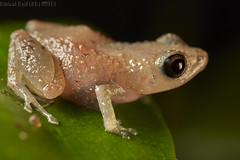 Dink frog (Diasporus sp.) (pbertner) Tags: frog rainforest pacificcoastal southamerica colombia choco jardinbotanicodelpacifico