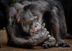 Give Me One More Chance (JKmedia) Tags: chimpanzee chimp ape monkey boultonphotography 2018 chesterzoo primate sonyrx10iii animal
