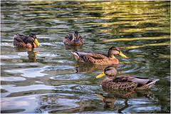 ducks   ... (miriam ulivi) Tags: miriamulivi nikond7200 agosto2018 estate summer lago lake riflessi reflections acqua water anatre ducks mallards germanireali fauna nature coth5