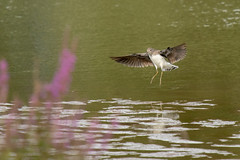 Green Sandpiper (Tringa ochropus) (Baldyal) Tags: bird bif wildlife water lake venuspool shropshire sandpiper