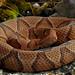 Eastern Copperhead (Agkistrodon contortrix)